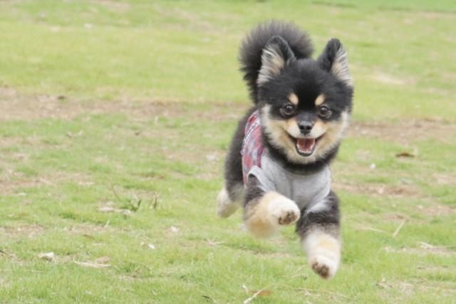 芝生の上を走るポメラニアン