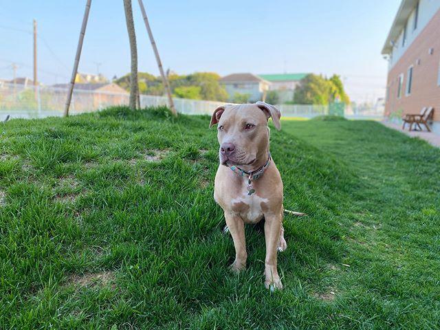 こんにちは🌞梅雨とは思えないいいお天気ですね!宿泊中のザラちゃんもご機嫌にドッグランを走り回っています🐶❣️夏休みを海の近くのウィズペットインで過ごしませんか?  #犬旅#いぬすたぐらむ#犬と旅行#犬とお泊まり#犬ととまれる宿#いぬのいる暮らし#いぬのきもち#犬と猫のいる暮らし#犬好きな人と繋がりたい#いぬすきさんと繋がりたい🐶#犬バカ部#犬#いぬ#犬旅base#犬旅行#ペットホテル#ペット宿泊可#ペットと泊まれる宿#ペットとお出かけ#ペットと旅行