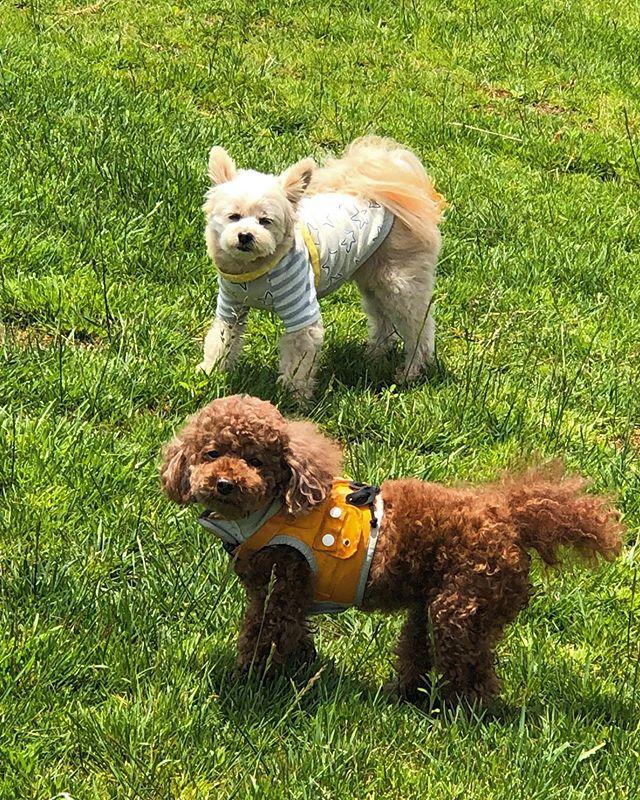 ウィズペットインのマスコット犬でもあるチクちゃんと、ゲストのトイプードル、ウリちゃんです❣️お天気も良く二匹ともご機嫌な様子で走り回っています🐩💕 #いぬすたぐらむ#いぬ#いぬのきもち#いぬバカ部#いぬのいる暮らし#いぬばか部#ドッグラン#ウィズペットイン#長生村#一松#一松海岸#サーフィン#犬と泊まれる宿#ホテル#民泊#素泊まり#わんこ#ポメラニアン#トイプードル#チワワ#パグ#柴犬#コーギー#ブルドック#ダックスフンド#ゴールデンレトリバー#ラブラドールレトリバー#アメリカンコッカースパニエル#フレンチブルドック